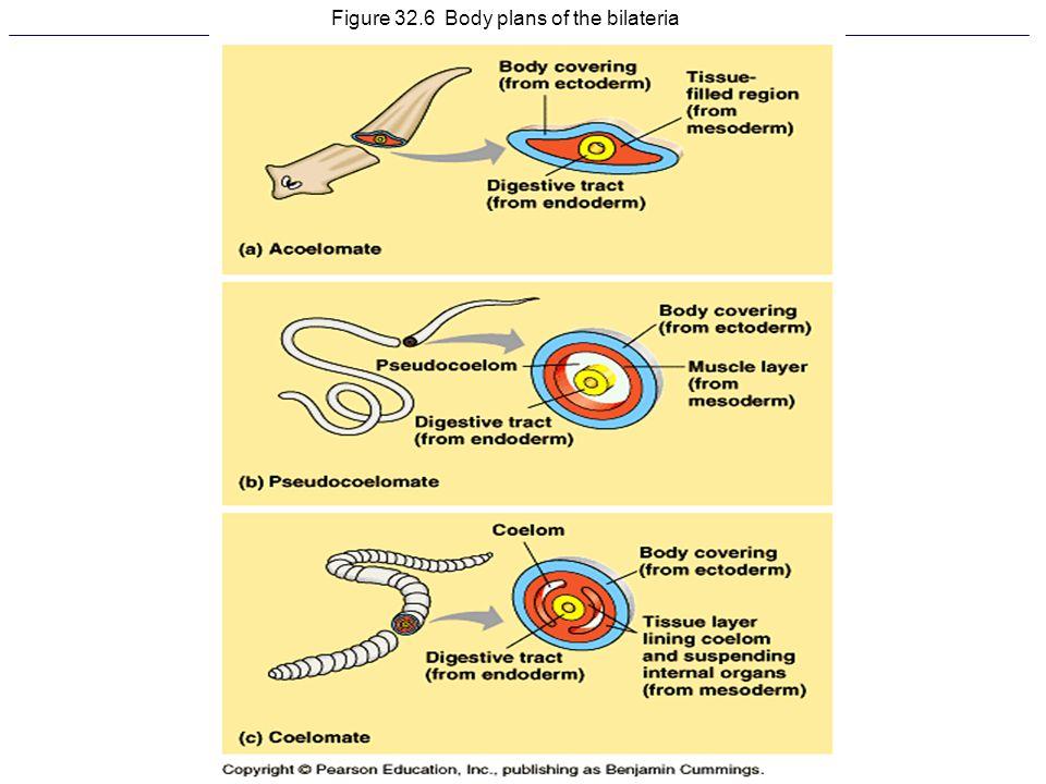 Figure 32.6 Body plans of the bilateria