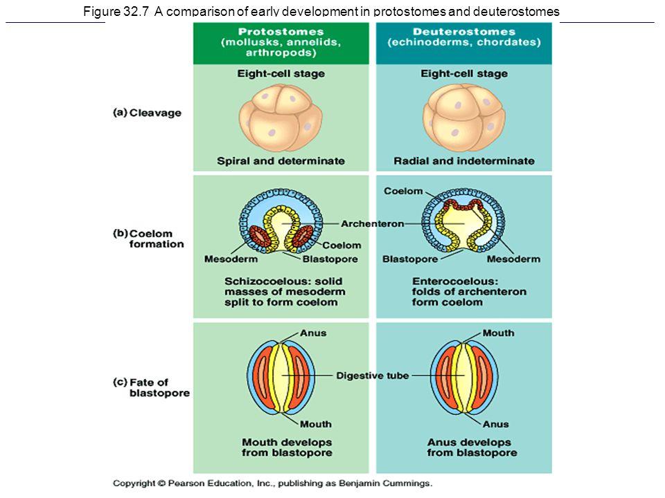 Figure 32.7 A comparison of early development in protostomes and deuterostomes