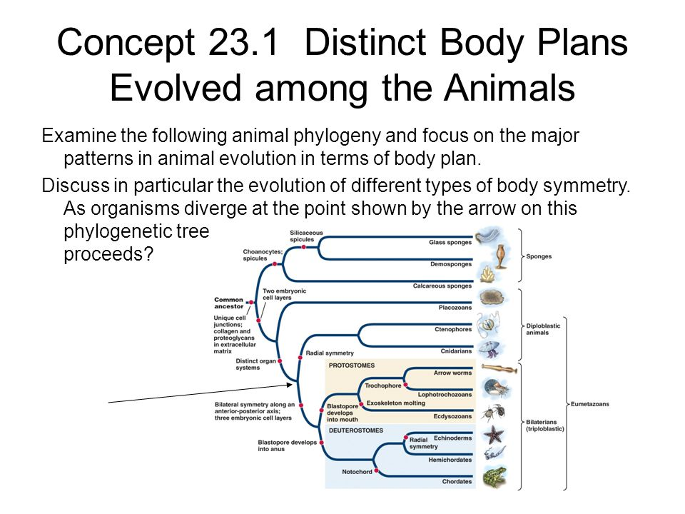 Concept 23.1 Distinct Body Plans Evolved among the Animals Examine the following animal phylogeny and focus on the major patterns in animal evolution