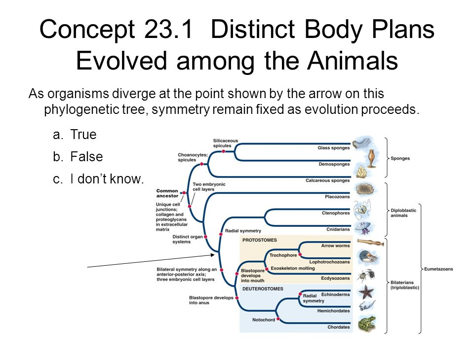Concept 23.1 Distinct Body Plans Evolved among the Animals As organisms diverge at the point shown by the arrow on this phylogenetic tree, symmetry re