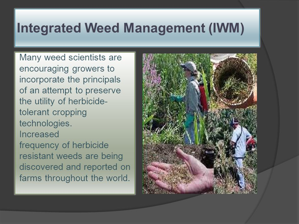 Weed Management in Cotton Chemical - ordinary management Chemical - comprehensive management Transgenic Herbicide-Tolerant Cotton
