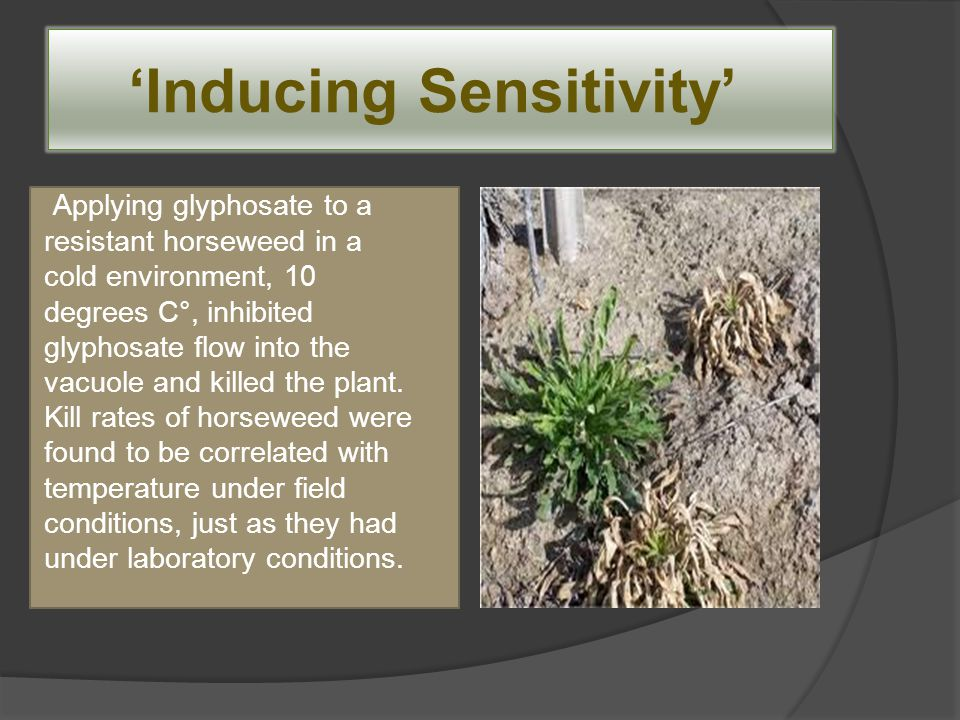 'Inducing Sensitivity' Applying glyphosate to a resistant horseweed in a cold environment, 10 degrees C°, inhibited glyphosate flow into the vacuole a