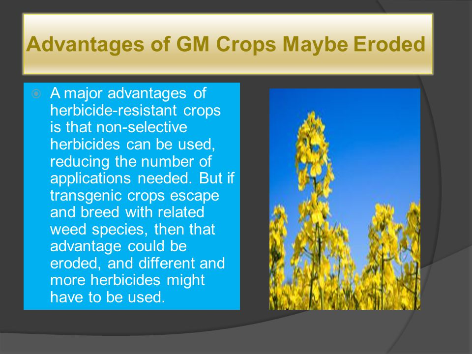 Advantages of GM Crops Maybe Eroded  A major advantages of herbicide-resistant crops is that non-selective herbicides can be used, reducing the numbe