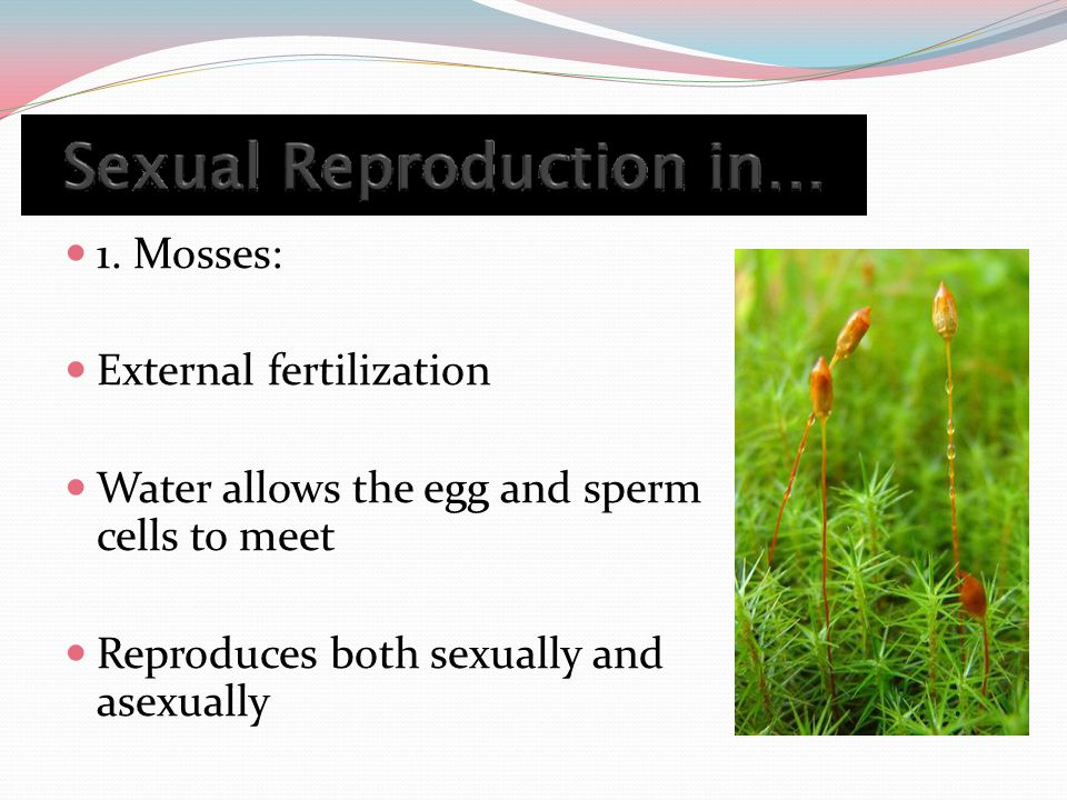 1. Mosses: External fertilization Water allows the egg and sperm cells to meet Reproduces both sexually and asexually
