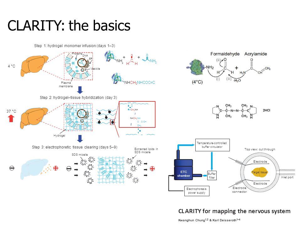CLARITY: the basics Proteins DNA Plasma membrane Vesicle ER Hydrogel oCoC +HH+HHH NH 2 o NHCH 2 NHCOC=C NH +2+2 SDS micelle Extracted lipids in SDS micelle Step 2: hydrogel–tissue hybridization (day 3) Step 3: electrophoretic tissue clearing (days 5–9) Step 1: hydrogel monomer infusion (days 1–3) CH CH 2 C O NHCH 2 NH NHCH 2 NH C O CH CH 2 4 °C 37 °C Top view: cut through Electrode connector Inlet port Electrode Temperature-controlled buffer circulator Buffer filter Electrophoresis power supply ETC chamber Target tissue CLARITY for mapping the nervous system Kwanghun Chung 1,2 & Karl Deisseroth 1–4