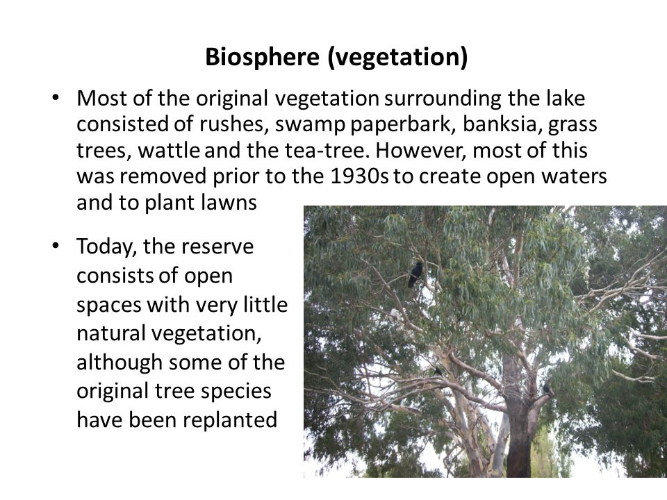 Biosphere (vegetation) Most of the original vegetation surrounding the lake consisted of rushes, swamp paperbark, banksia, grass trees, wattle and the tea-tree.