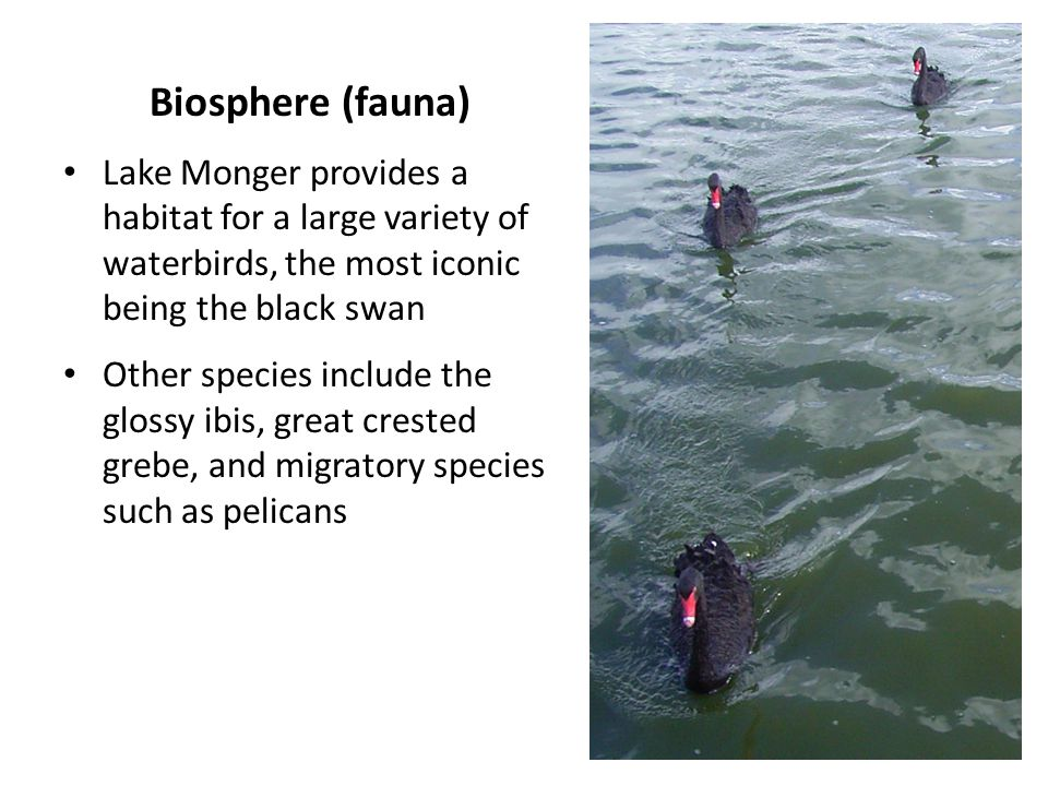 Biosphere (fauna) Lake Monger provides a habitat for a large variety of waterbirds, the most iconic being the black swan Other species include the glossy ibis, great crested grebe, and migratory species such as pelicans