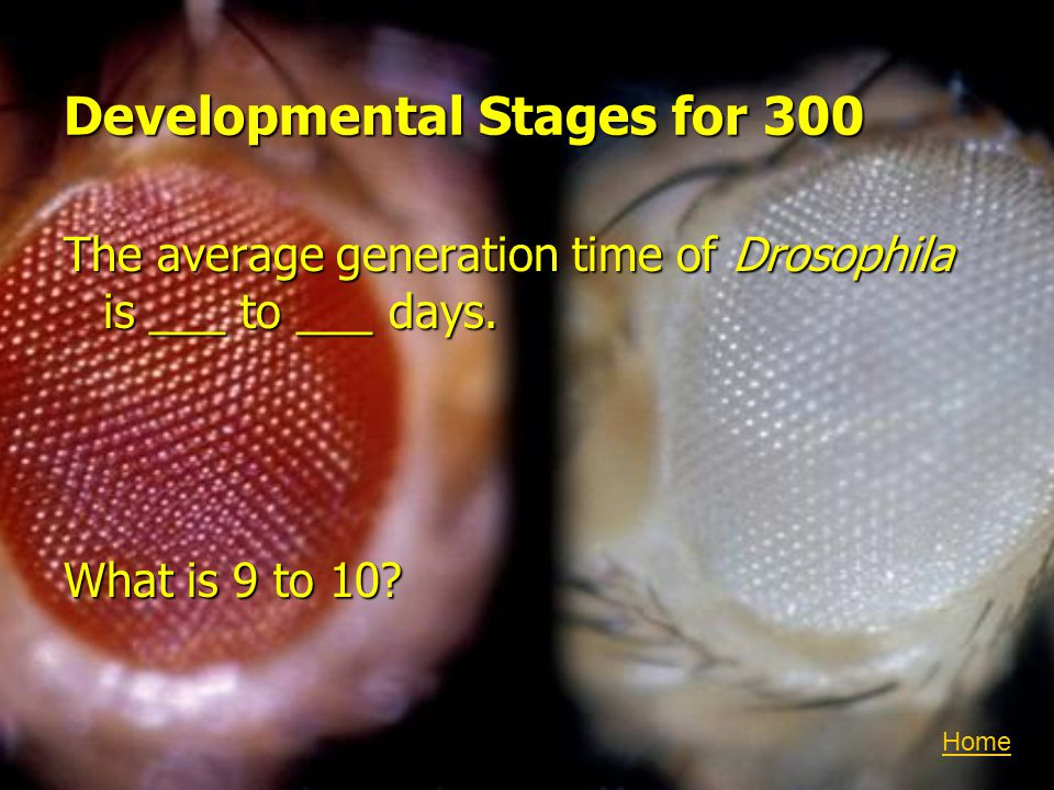 Developmental Stages for 300 The average generation time of Drosophila is ___ to ___ days.
