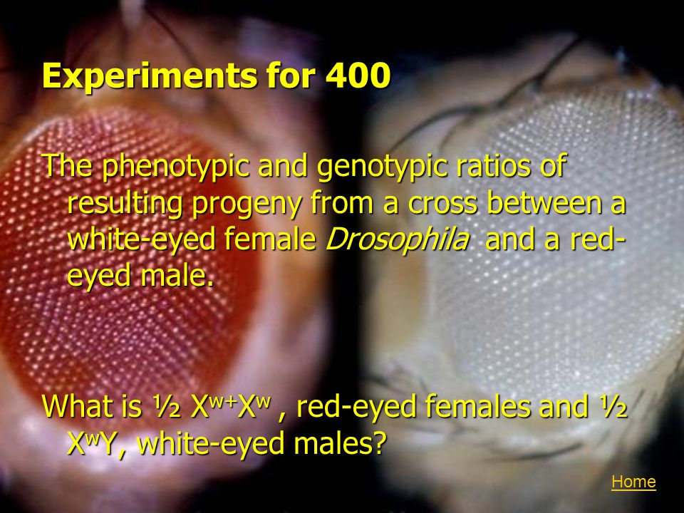 Experiments for 400 The phenotypic and genotypic ratios of resulting progeny from a cross between a white-eyed female Drosophila and a red- eyed male.