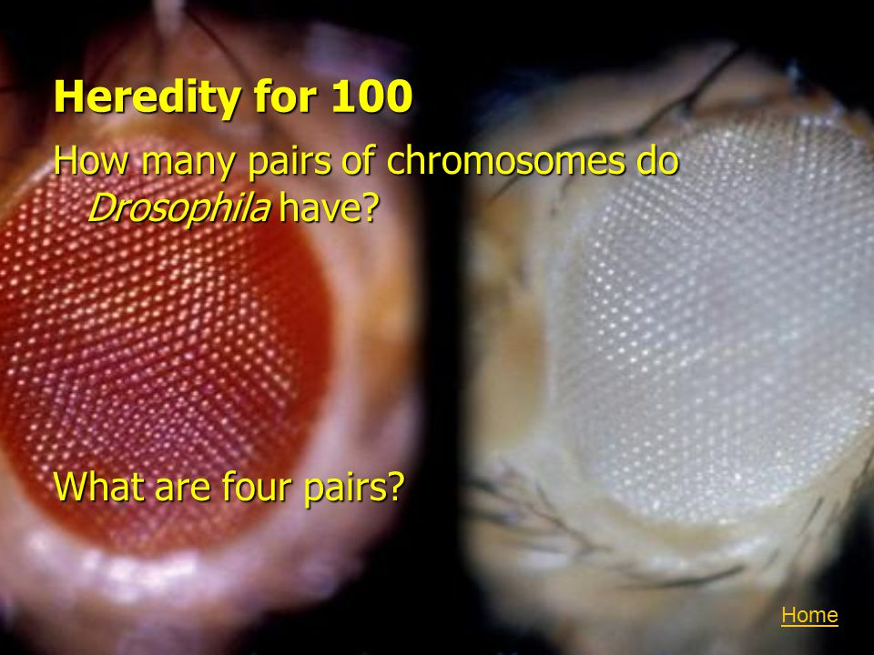 Heredity for 100 How many pairs of chromosomes do Drosophila have? What are four pairs? Home