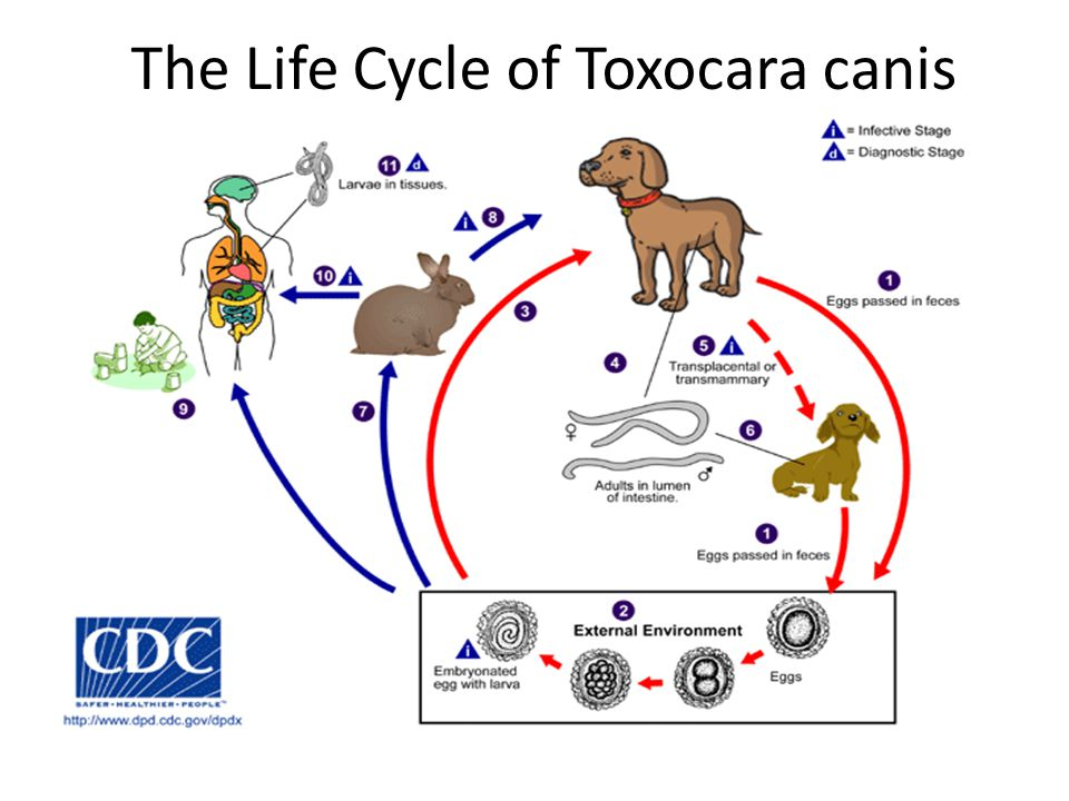 The Life Cycle of Toxocara canis