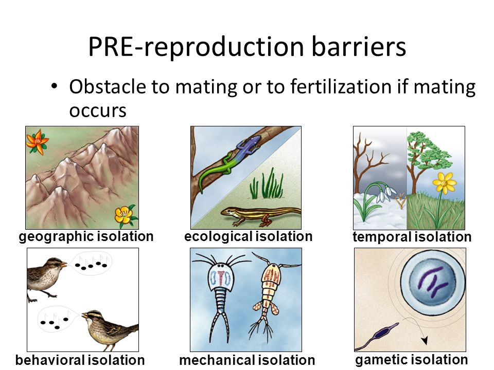 Reproductive isolation: Prezygotic barriers Habitat isolation Behavioral isolation Temporal isolation Mechanical isolation Gametic isolation 42