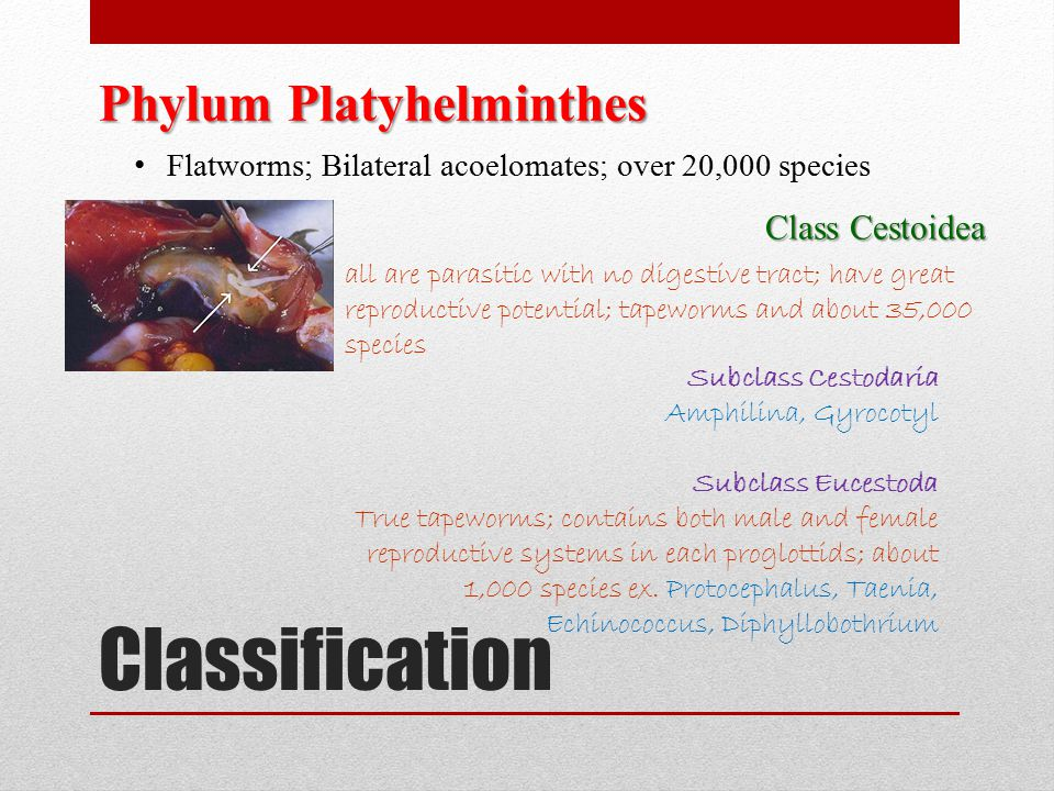 Classification Phylum Platyhelminthes Flatworms; Bilateral acoelomates; over 20,000 species Class Cestoidea all are parasitic with no digestive tract;