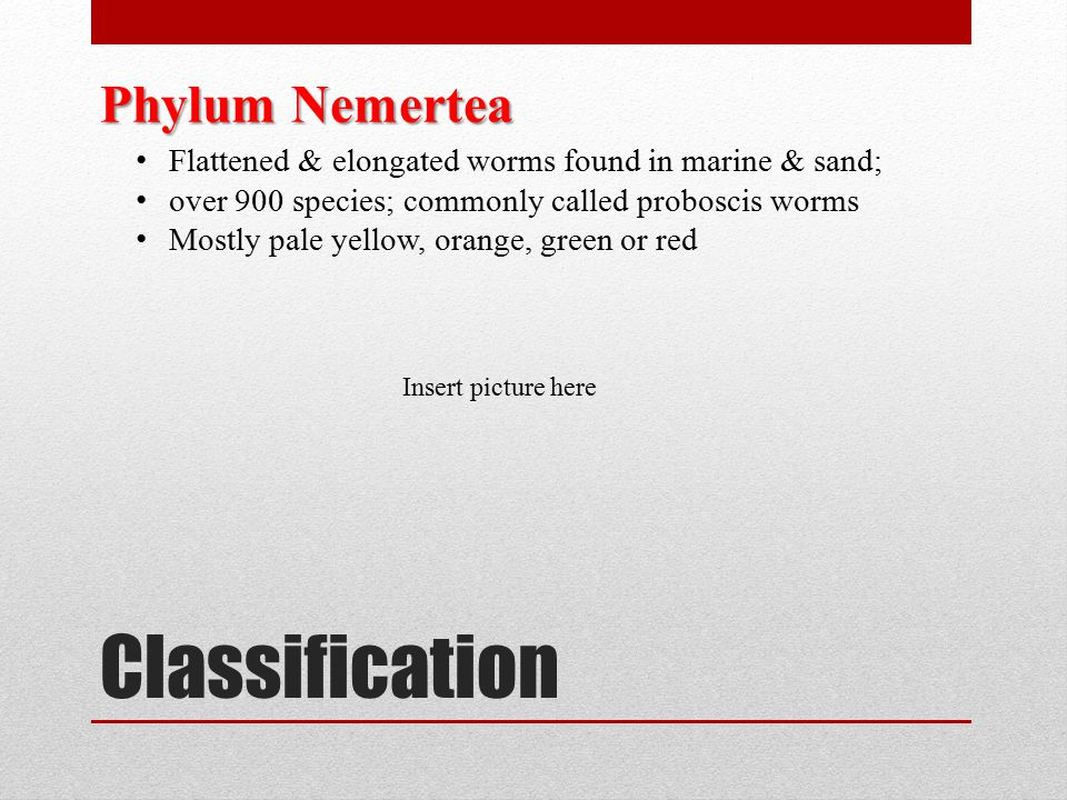 Classification Phylum Nemertea Flattened & elongated worms found in marine & sand; over 900 species; commonly called proboscis worms Mostly pale yello