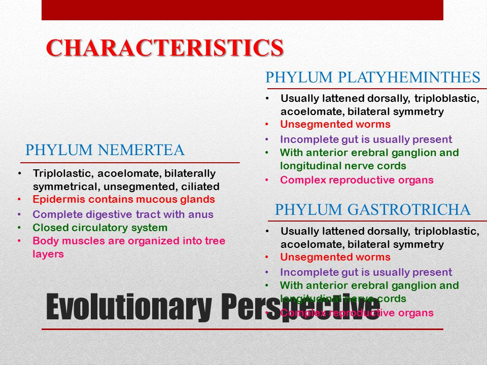 Evolutionary Perspective CHARACTERISTICS PHYLUM PLATYHEMINTHES PHYLUM GASTROTRICHA PHYLUM NEMERTEA Usually lattened dorsally, triploblastic, acoelomate, bilateral symmetry Unsegmented worms Incomplete gut is usually present With anterior erebral ganglion and longitudinal nerve cords Complex reproductive organs Triplolastic, acoelomate, bilaterally symmetrical, unsegmented, ciliated Epidermis contains mucous glands Complete digestive tract with anus Closed circulatory system Body muscles are organized into tree layers Usually lattened dorsally, triploblastic, acoelomate, bilateral symmetry Unsegmented worms Incomplete gut is usually present With anterior erebral ganglion and longitudinal nerve cords Complex reproductive organs