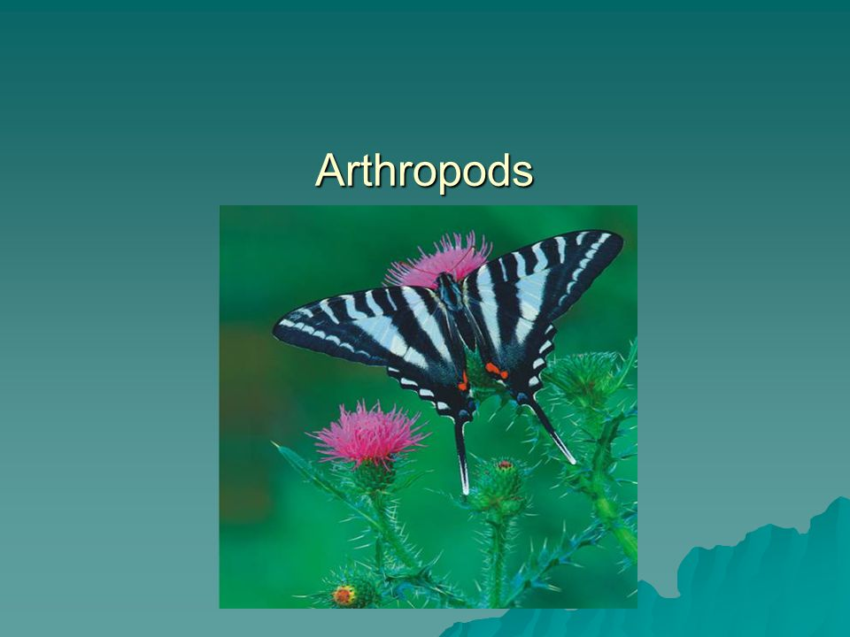Phylum Arthropoda - Arthropods  Largest and most successful phylum  75% of all animals.
