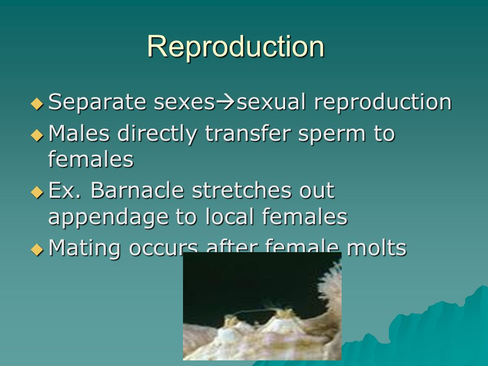 Reproduction  Separate sexes  sexual reproduction  Males directly transfer sperm to females  Ex. Barnacle stretches out appendage to local females