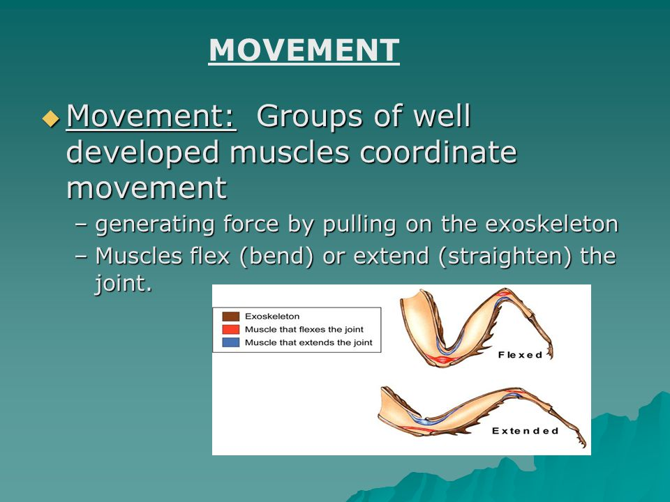  Movement: Groups of well developed muscles coordinate movement –generating force by pulling on the exoskeleton –Muscles flex (bend) or extend (strai