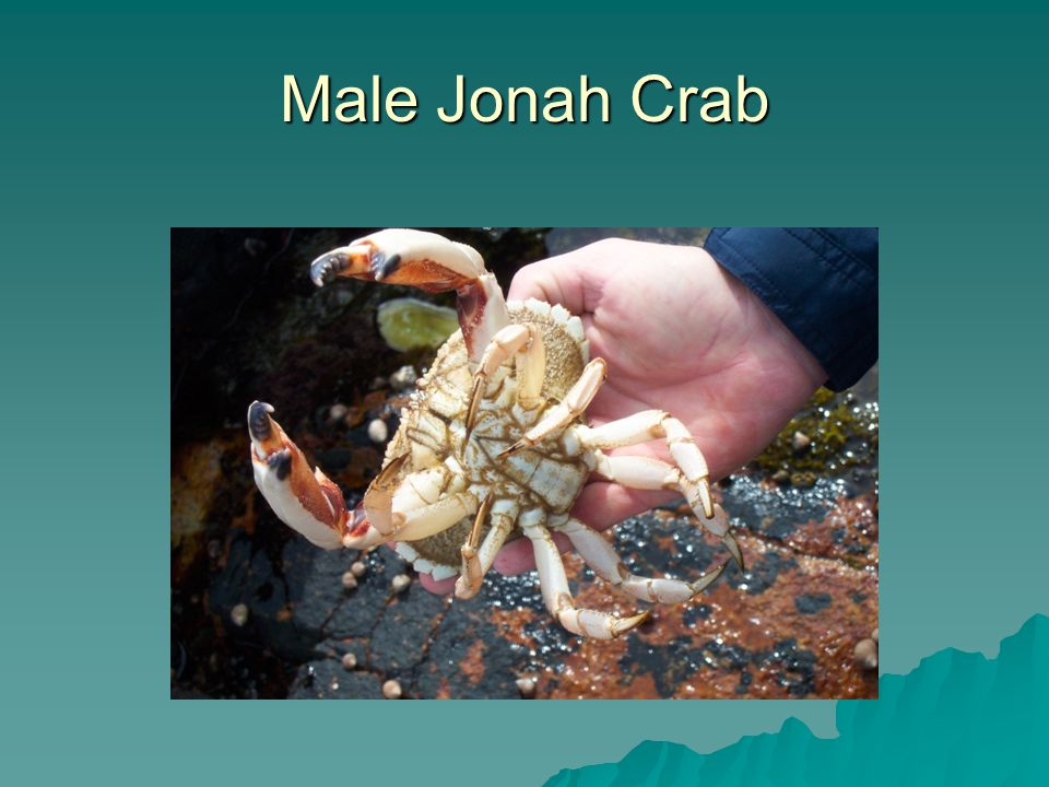 Male Jonah Crab