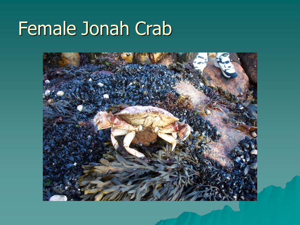 Female Jonah Crab