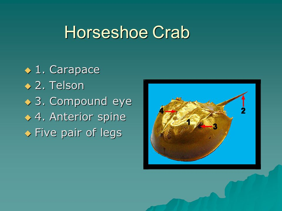 Horseshoe Crab  1. Carapace  2. Telson  3. Compound eye  4. Anterior spine  Five pair of legs