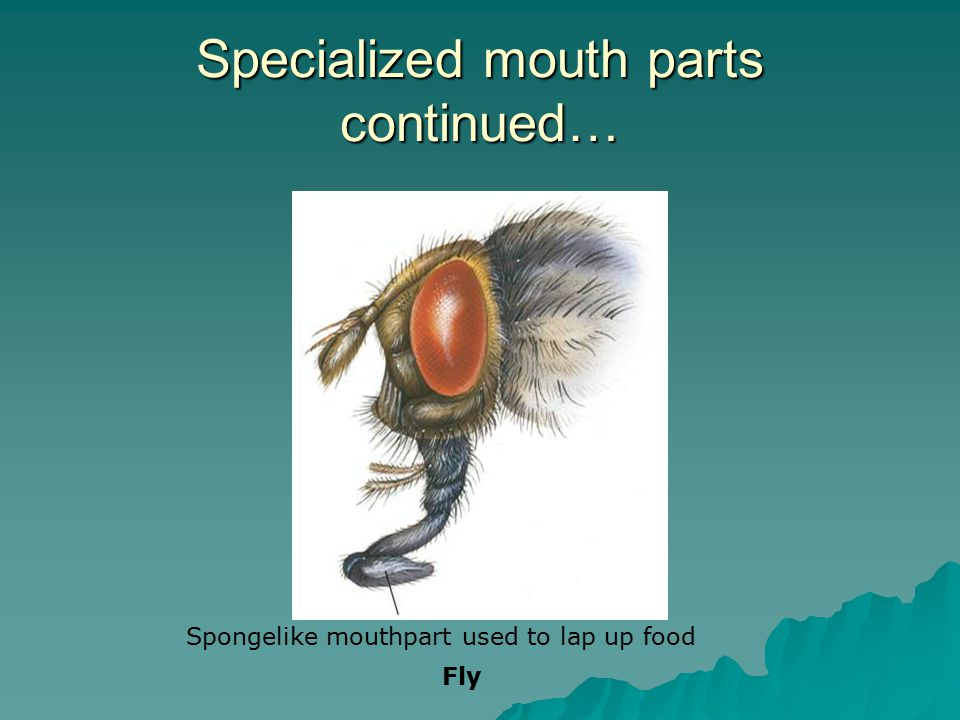 Specialized mouth parts continued… Spongelike mouthpart used to lap up food Fly