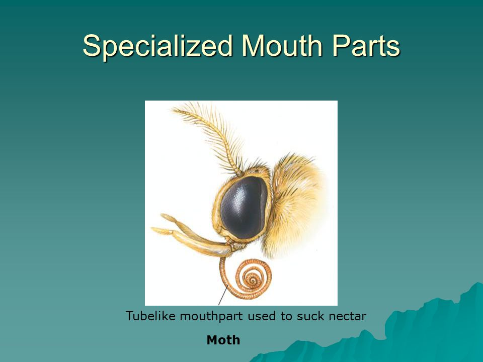 Specialized Mouth Parts Tubelike mouthpart used to suck nectar Moth