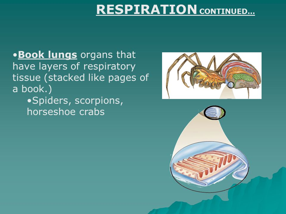 Book lungs organs that have layers of respiratory tissue (stacked like pages of a book.) Spiders, scorpions, horseshoe crabs RESPIRATION CONTINUED…