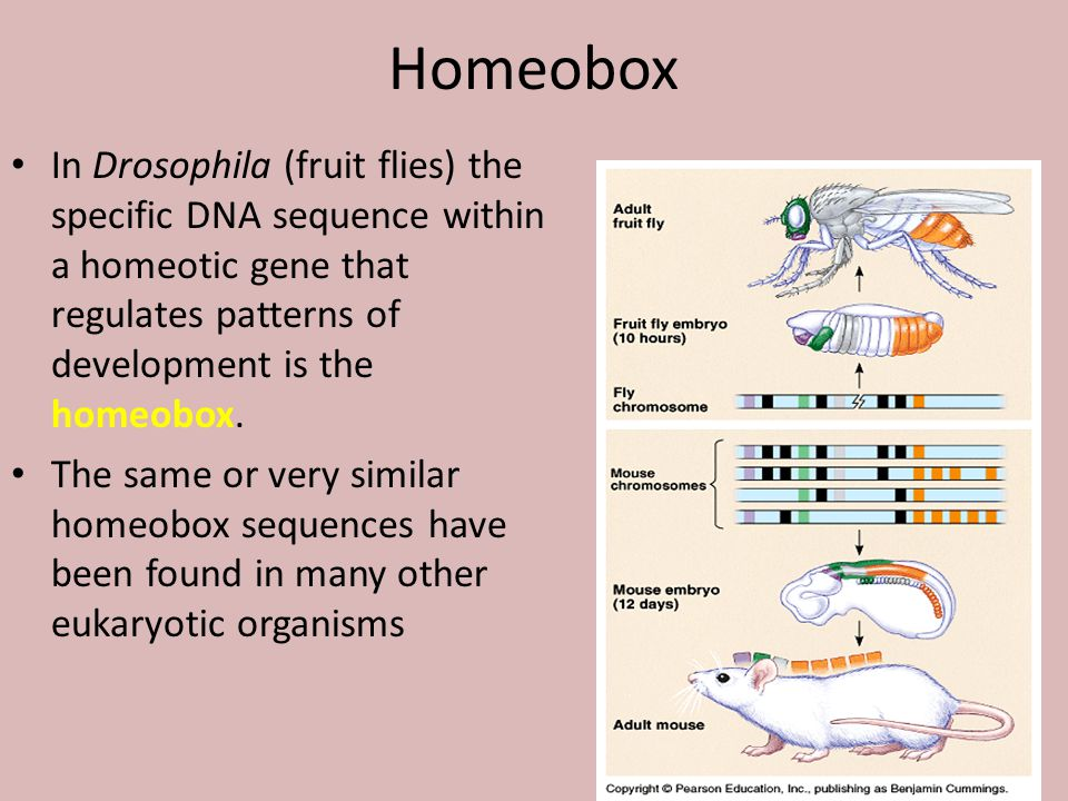 Homeobox In Drosophila (fruit flies) the specific DNA sequence within a homeotic gene that regulates patterns of development is the homeobox. The same