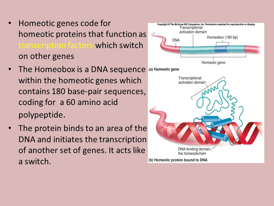 Homeotic genes code for homeotic proteins that function as transcription factors which switch on other genes The Homeobox is a DNA sequence within the