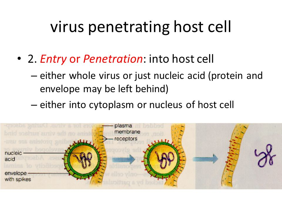 virus penetrating host cell 2. Entry or Penetration: into host cell – either whole virus or just nucleic acid (protein and envelope may be left behind