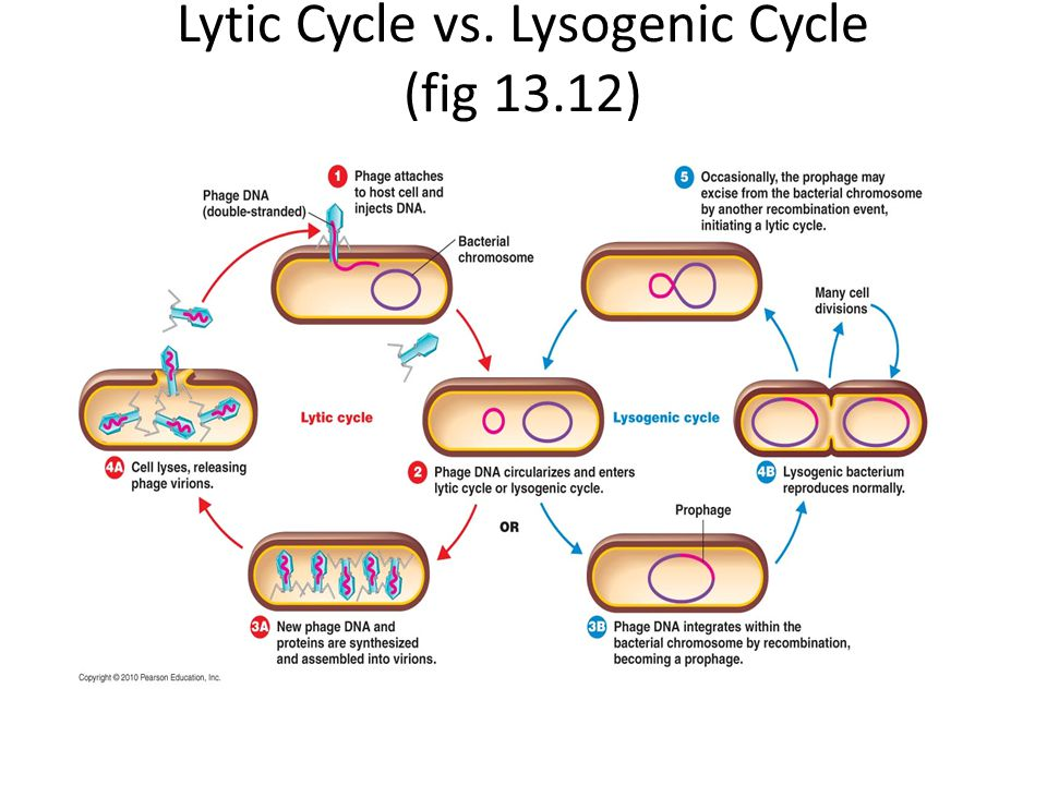 Lytic Cycle vs. Lysogenic Cycle (fig 13.12)