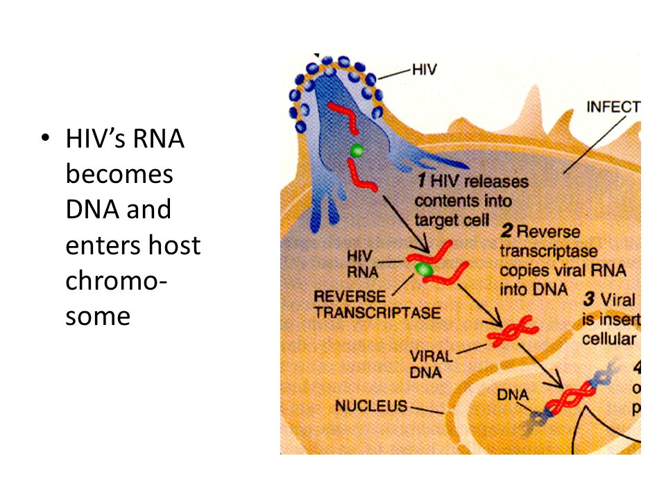 HIV's RNA becomes DNA and enters host chromo- some