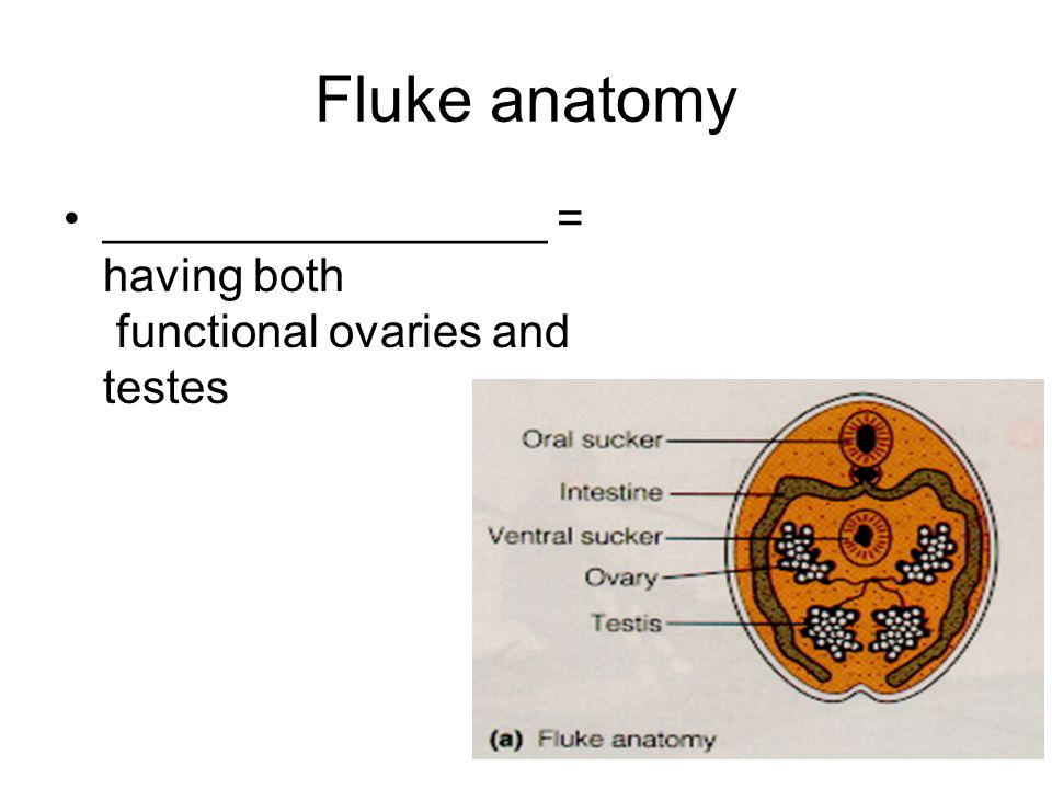 Fluke anatomy _________________ = having both functional ovaries and testes