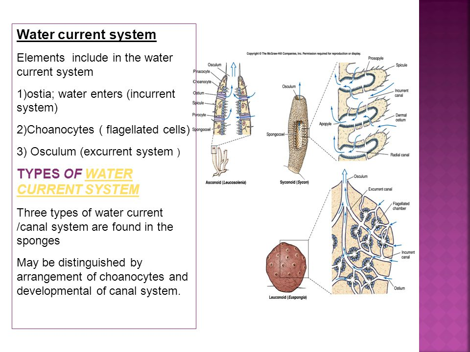 Water current system Elements include in the water current system 1)ostia; water enters (incurrent system) 2)Choanocytes ( flagellated cells) 3) Osculum (excurrent system ) TYPES OF WATER CURRENT SYSTEMWATER CURRENT SYSTEM Three types of water current /canal system are found in the sponges May be distinguished by arrangement of choanocytes and developmental of canal system.
