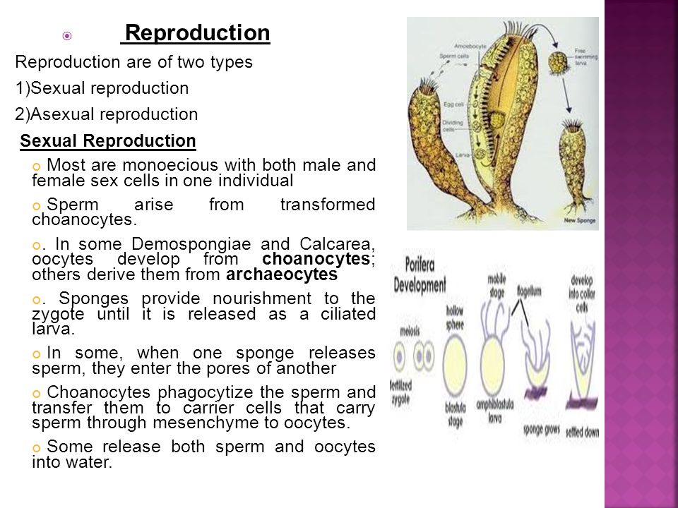  Reproduction Reproduction are of two types 1)Sexual reproduction 2)Asexual reproduction Sexual Reproduction Most are monoecious with both male and female sex cells in one individual Sperm arise from transformed choanocytes..