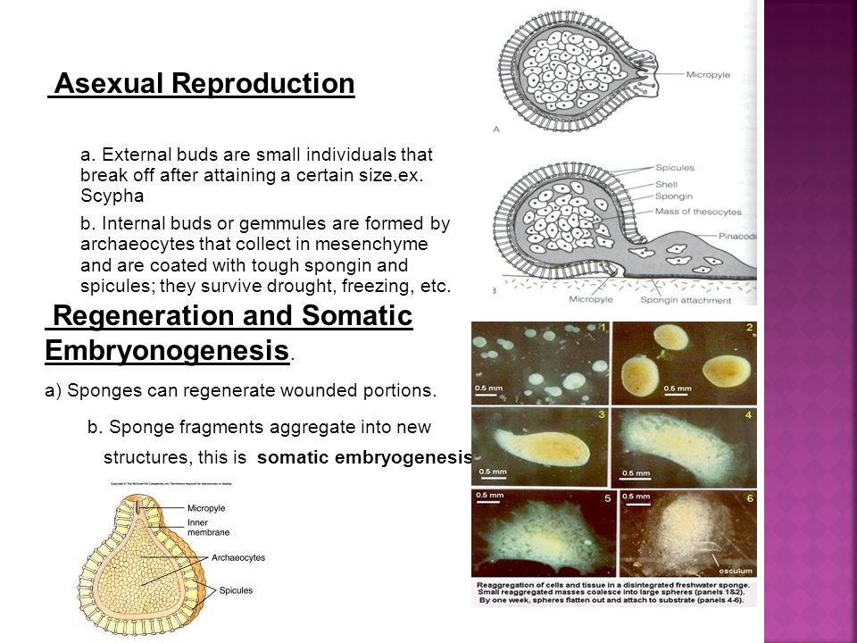 Regeneration and Somatic Embryonogenesis.a) Sponges can regenerate wounded portions.