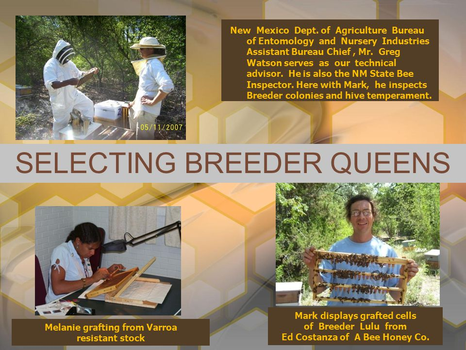 SELECTING BREEDER QUEENS New Mexico Dept. of Agriculture Bureau of Entomology and Nursery Industries Assistant Bureau Chief, Mr. Greg Watson serves as