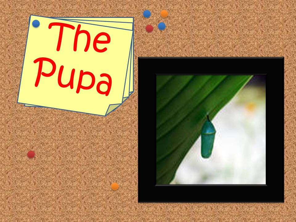 Stage 2: Pupa The pupa (pyu-pa) is when the caterpillar is inside of a cocoon. This cocoon is called chrysalis (chris-a- lis). When the caterpillar is