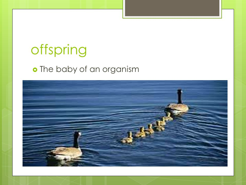 offspring  The baby of an organism