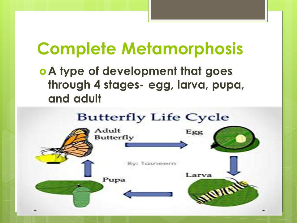 Complete Metamorphosis  A type of development that goes through 4 stages- egg, larva, pupa, and adult