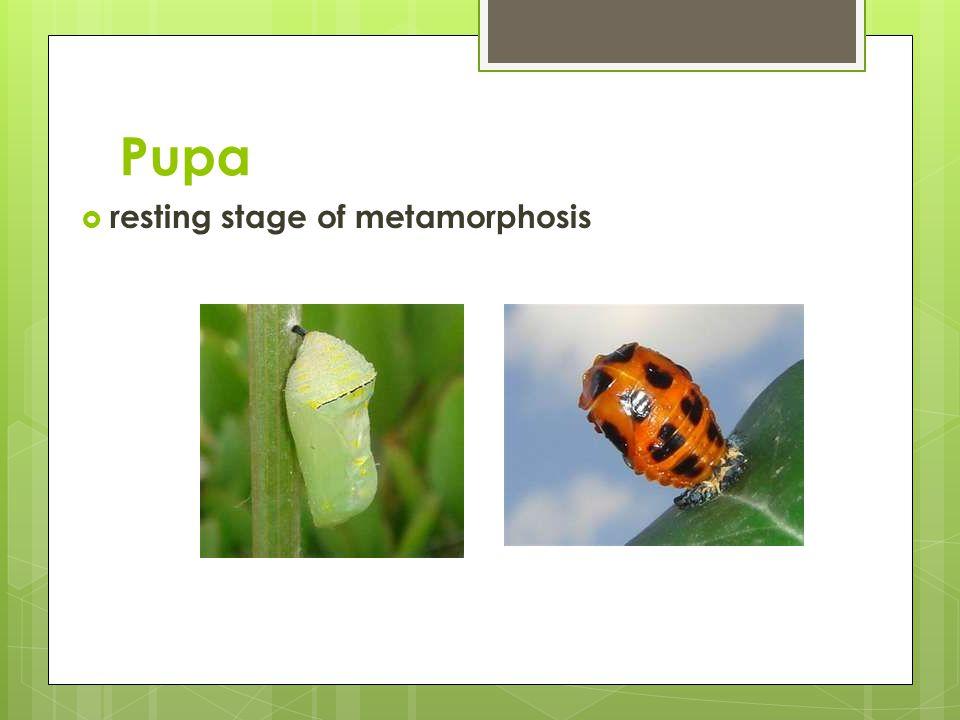 Pupa  resting stage of metamorphosis