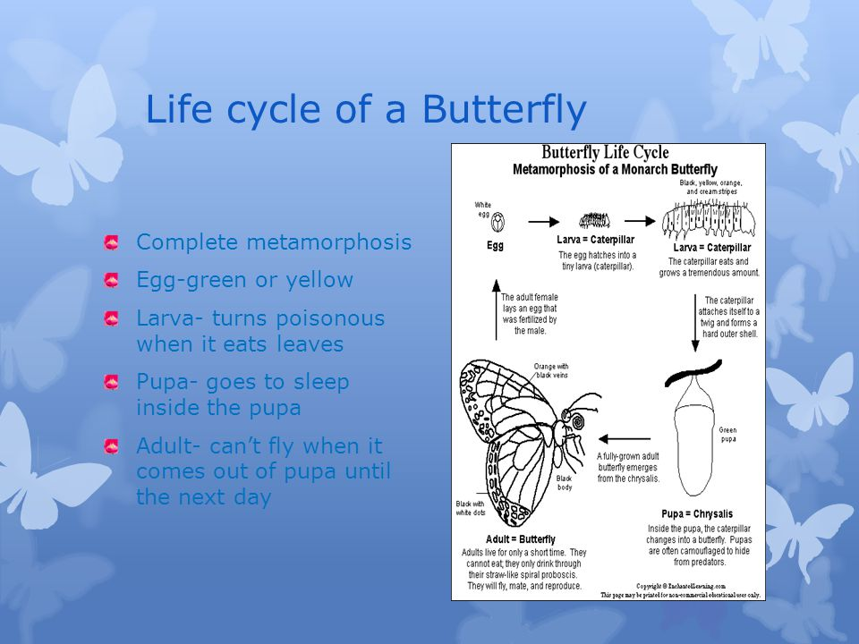 Physical Description of a Butterfly Main body parts: head,2 antennae, compound eyes, thorax, 4 wings, spiracles, abdomen Size 4 inches Proboscis for a mouth It is red, orange, blue, green, yellow, indigo, and violet