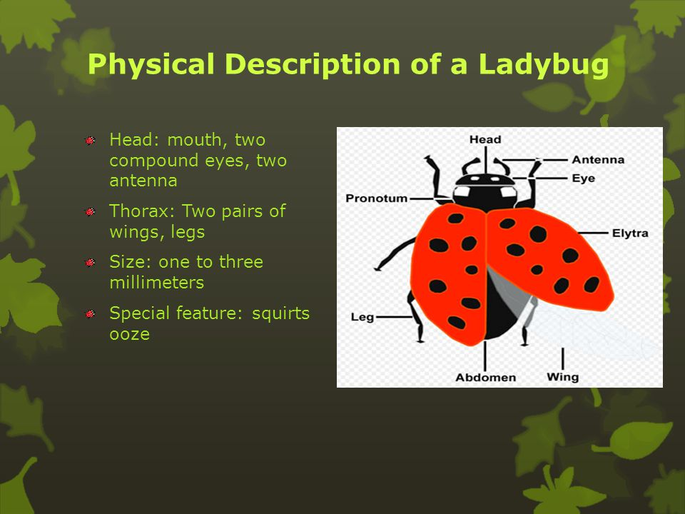 The Pretty Ladybug Researched by: Kelly Lee and Logan Smith