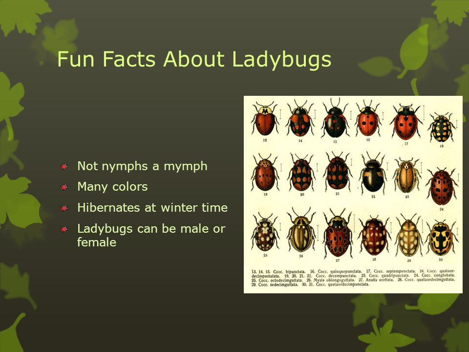 Life Cycle and Mating of a Ladybug Complete metamorphosis Egg Mymph or larva Pupa Adult Lays its eggs on leafs.