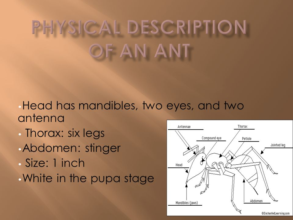 Head has mandibles, two eyes, and two antenna Thorax: six legs Abdomen: stinger Size: 1 inch White in the pupa stage