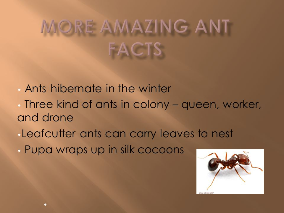 Strong jaws called mandibles Can eat wood Killer ants get food by using poison Eats dead animals