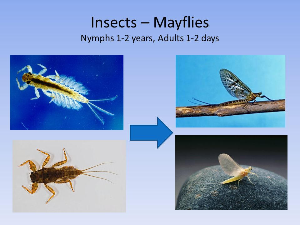 Insects – Mayflies Nymphs 1-2 years, Adults 1-2 days