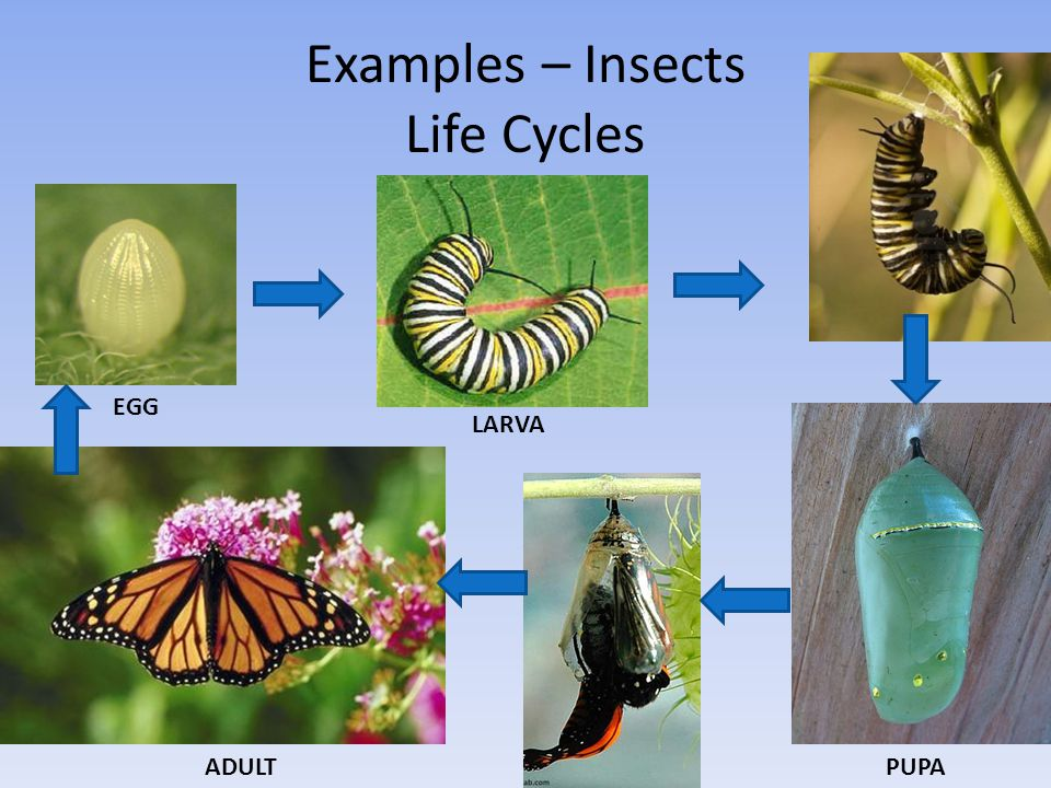 Examples – Insects Life Cycles EGG ADULTPUPA LARVA