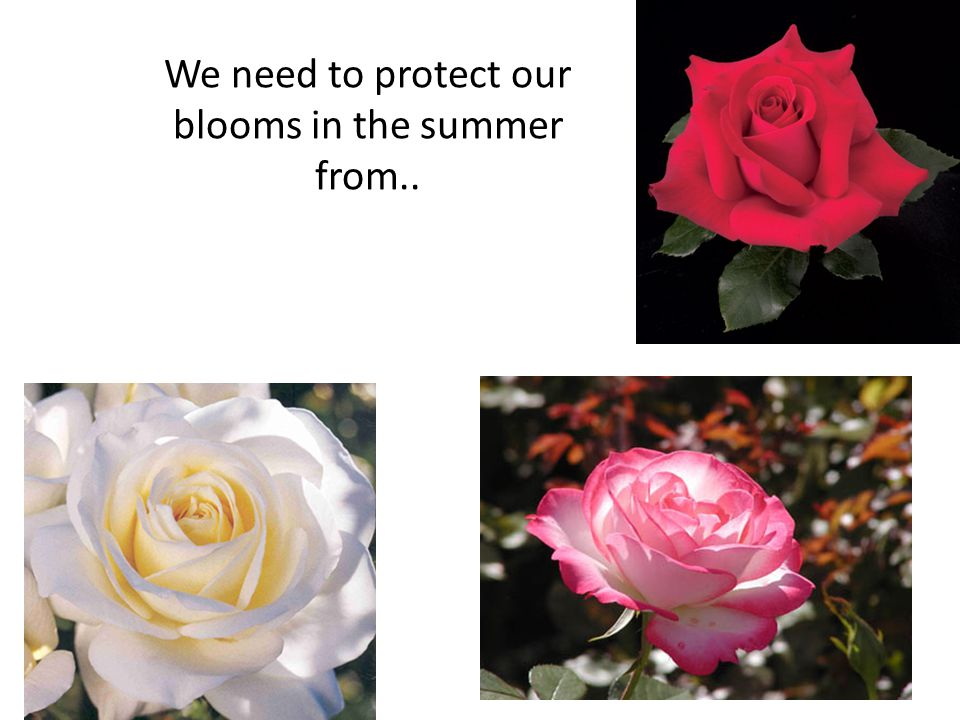 We need to protect our blooms in the summer from..